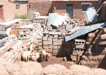 Criadero ilegal de porcinos en la ciudad de Juliaca