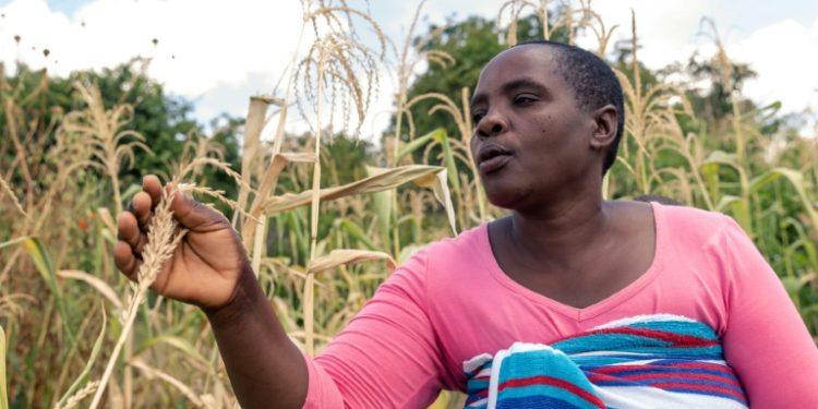 Future Nyamukondiwa inspecciona una mazorca en su campo seco de maíz en la zona rural zimbabuense de Mutoko el 13 de marzo de 2019 (AFP).