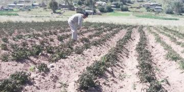 Un área total del 11%, que se ha sembrado en la presente campaña agrícola.