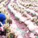 Cultivos se perjudicaron en un 9% por heladas.