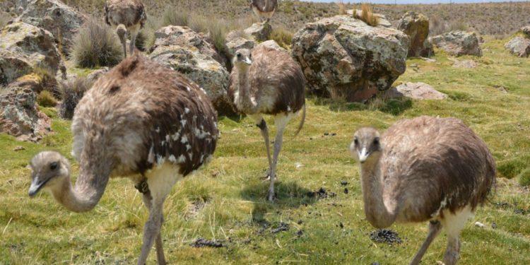 Suris conservados por el Minagri serán reintroducidos a su estado natural en Puno. (Andina).