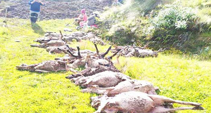 Solo 26 ovejas se recuepraron.