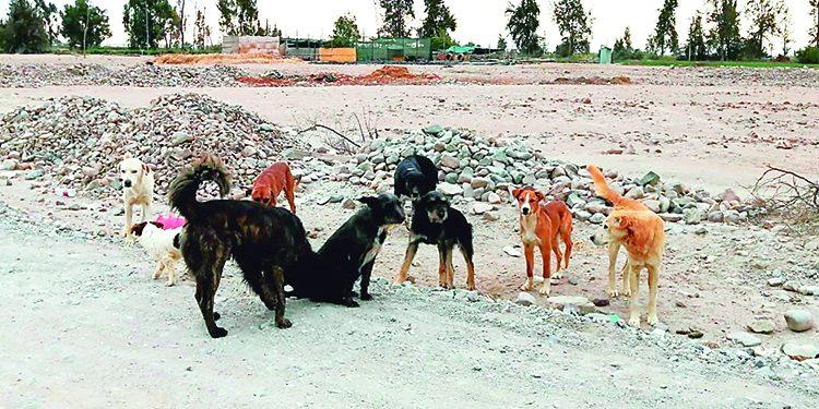 Reportan otro caso de rabia en Majes y ya son 6 canes infectados con este virus