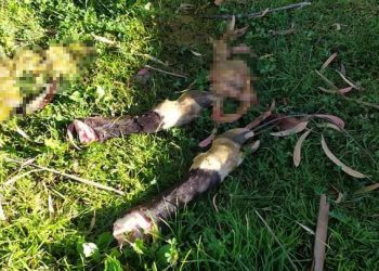 Abigeos roban torete en Pampacolca y luego lo matan para vender su carne