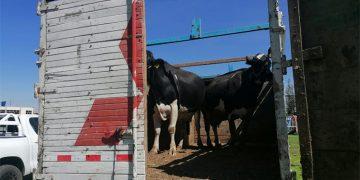 Ganaderos subastarán vacas para cubrir sus gastos ante la crisis en su sector