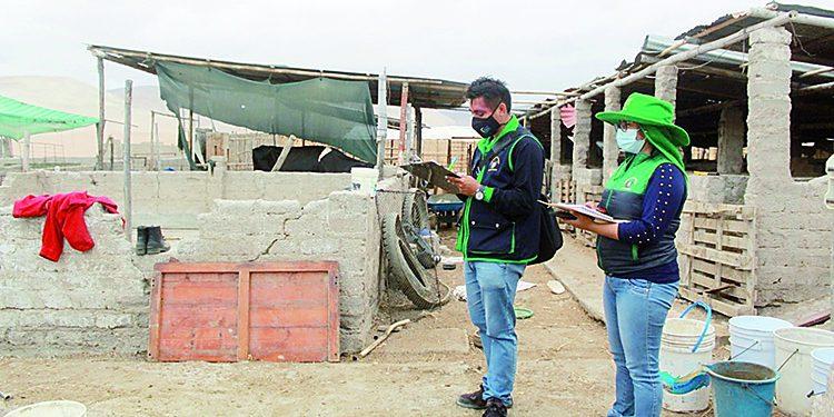 Granjas de cerdos y aves operan en zonas consideradas residenciales en Camaná