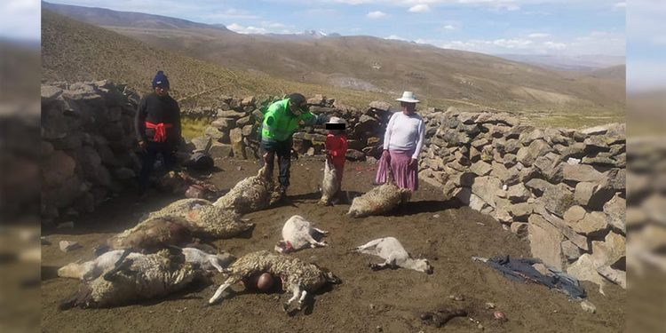 Arequipa: Puma andino mata 13 ovinos de humilde familia en San juan de Tarucani