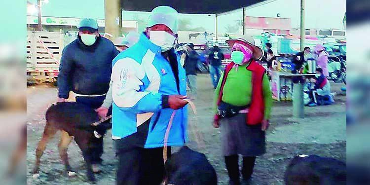 Afirman que ganaderos en Majes se resisten cumplir protocolos por la covid