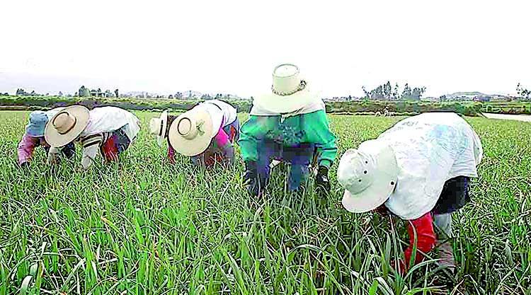 Agricultores de Arequipa pueden acceder a seguro SAC por daños en sus cultivos