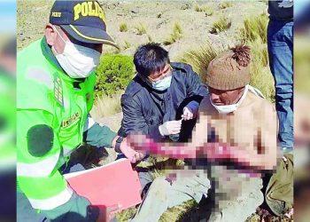 Arequipa: Varón se enfrentó a puma que atacó a su ganado en San Juan de Tarucani
