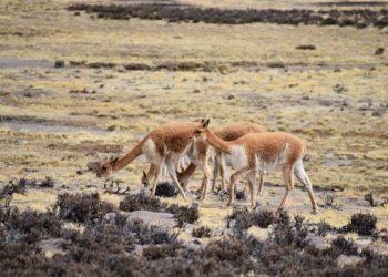 Conforman comité de control y vigilia de caza furtiva de vicuñas en frontera