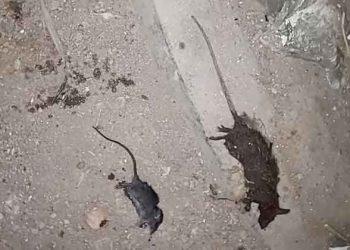 Fumigarán jirones donde se identifique presencia de ratas en la ciudad de Puno