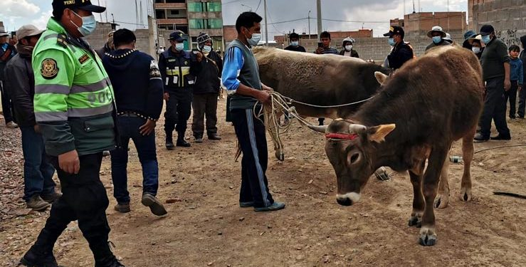 Hallan 2 toros valorizados en 7 mil soles en casa de un presunto abigeo