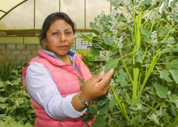 Biohuertos escolar de Julia produce hojas de quinua con alto valor nutricional